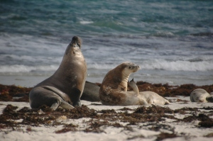 Sea lions on Kangaroo Island.