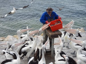 Impatient pelicans.