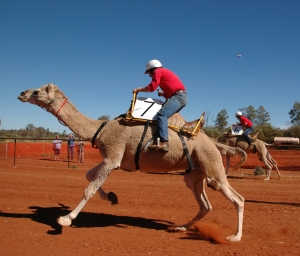 A camel in full flight at the Uluru camel Cup