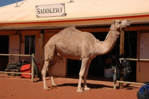 Most of Australia's camels are dromedaries (one-humped camels)
