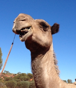 Camels were used as transport to colonise outback Australia