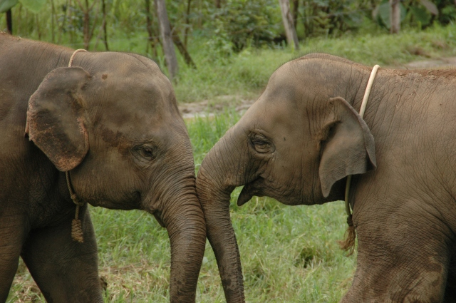 Two baby elephants at play at the Elephant Nature Park