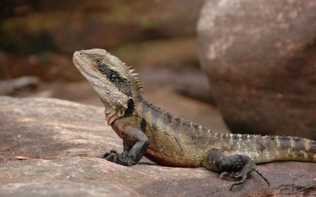 Eastern water dragon in Ku-ring-gai Chase National Park