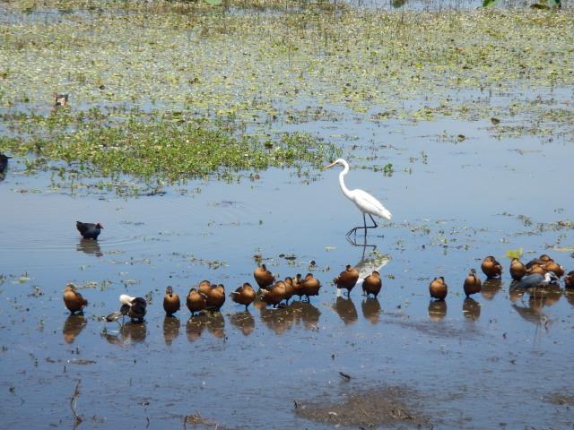 The bird life is prolific at Mamukala Wetlands in Kakadu