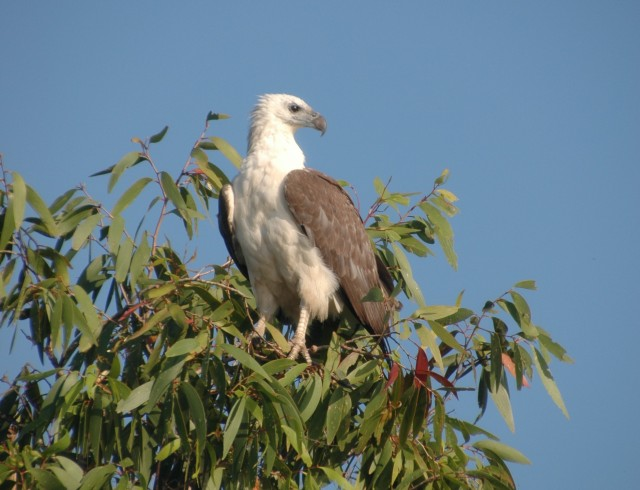 White bellied sea eagle at Yellow Waters, Kakadu
