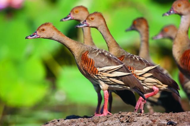 Plumed whistling ducks in Kakadu
