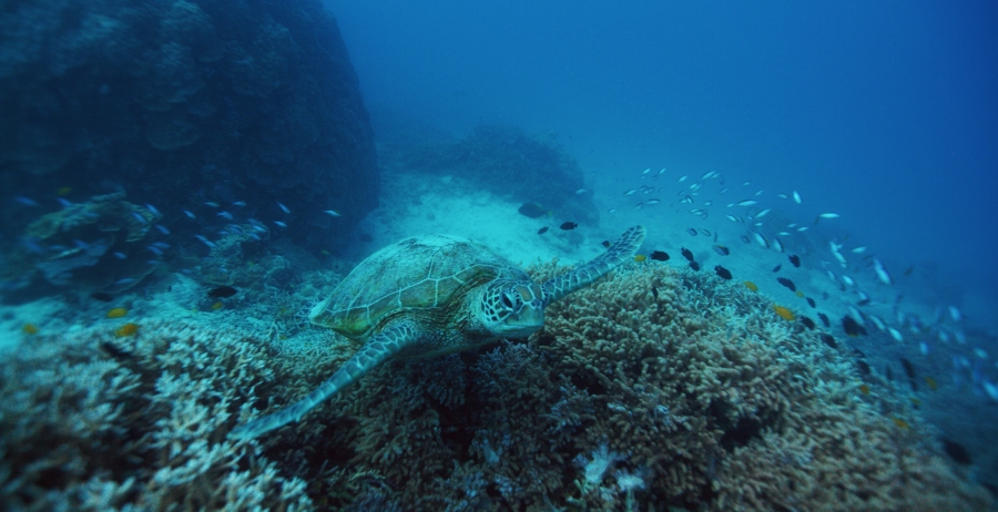 Turtle, Great Barrier Reef